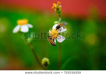 蜂 クローズアップ 2 ミツバチ 性的 行為 ストックフォト © fxegs