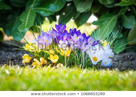Flowerbed with violet colour crocus stock photo © RuslanOmega