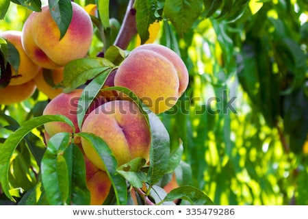 Peaches on the tree Stock photo © pekour