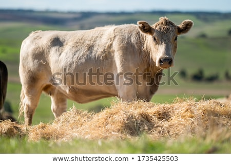 calf and cows eating in a meadow stock photo © elenarts