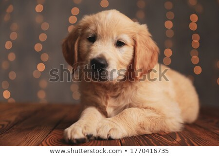 Shy piccolo labrador cucciolo cute nero Foto d'archivio © feedough