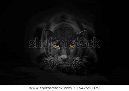 Czarny pantera charakter tatuaż turystyki jasne Zdjęcia stock © dagadu