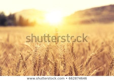 napos · búzamező · közelkép · mezőgazdaság · arany · naplemente - stock fotó © lunamarina