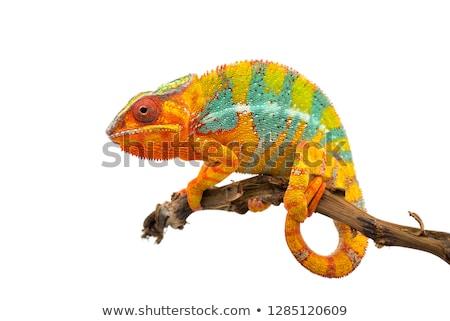 Kameleon cartoon gelukkig ontwerp groene dier Stockfoto © Genestro