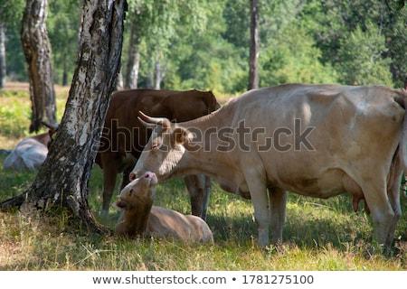moeder · koe · jonge · veld · natuur - stockfoto © meinzahn