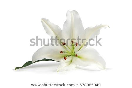 Branco lírio isolado primavera verão verde Foto stock © fixer00