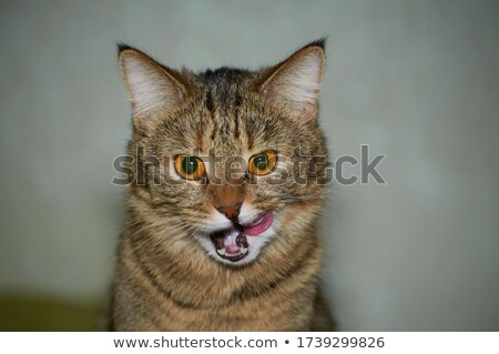White and Brown tabby cat with blue eyes Stock photo © dnsphotography