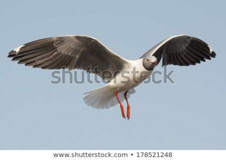 grey headed gull floating on the wind stock photo © davemontreuil