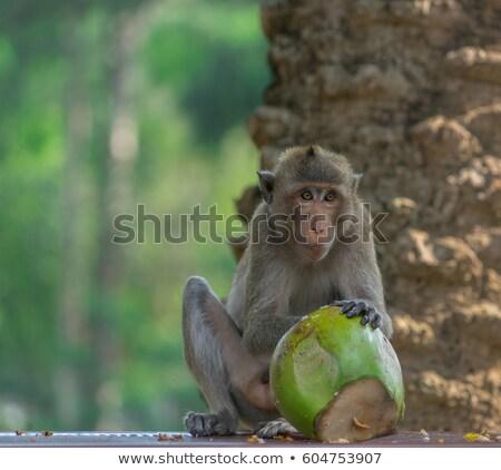 Monkey with coconut background Stock photo © sognolucido