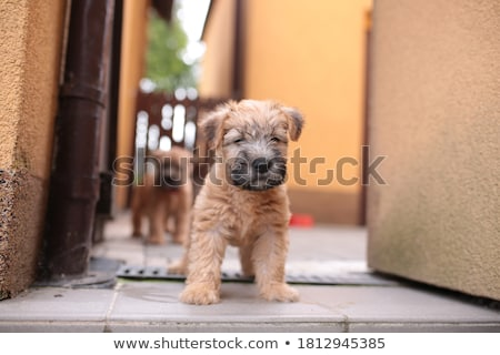 Funny Irish Soft Coated Wheaten Terrier Stock photo © CaptureLight