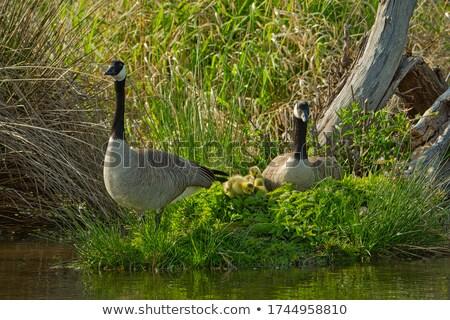 Wild geese at a small island Stock photo © olandsfokus
