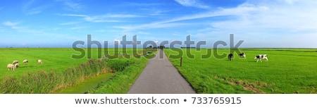 オランダ語 風景 牛 典型的な 水 草 ストックフォト © ivonnewierink