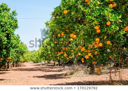 Narancsfa Portugália fa nap természet levél Stock fotó © compuinfoto