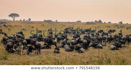 Herd of Wildebeest on Grassland Stock photo © JFJacobsz