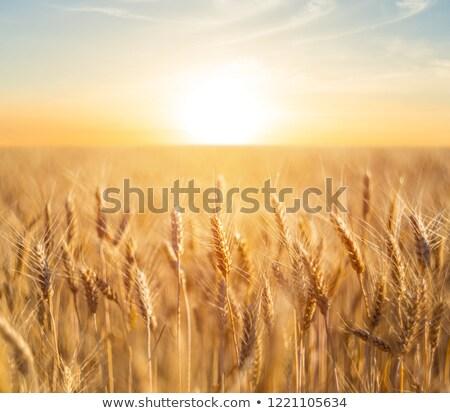 Solar trigo orejas mano cosecha oro Foto stock © -Baks-