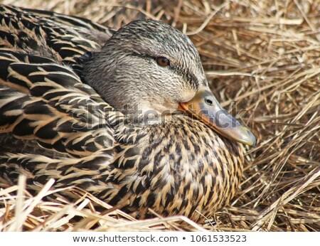 Kadın ördek gaga güzellik turuncu Stok fotoğraf © rekemp