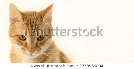 кошки объявление общий кошачий мегафон Сток-фото © Lightsource