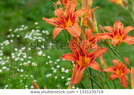 a flower bed of orange lillies Stock photo © artfotoss
