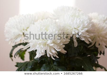 Chrysant witte natuur achtergrond groene patroon Stockfoto © LianeM