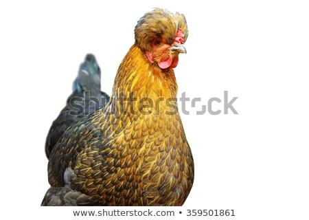 portrait · blanche · poulet · studio · oeil · oiseau - photo stock © taviphoto