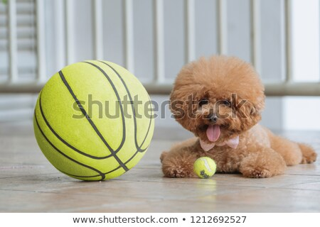 poodle playing with a ball Stock photo © cynoclub
