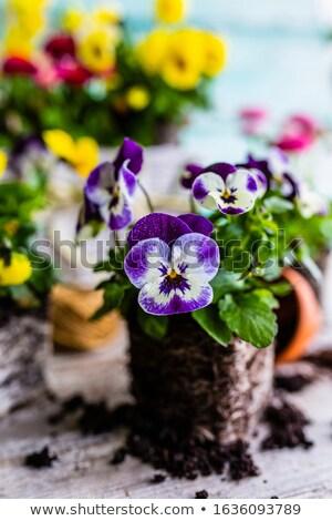 Colorful pansies Stock photo © Hofmeester