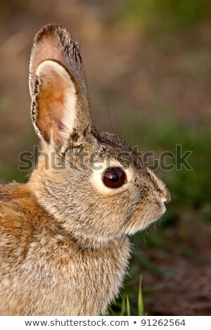 Bush · lapin · lapin · saskatchewan · Canada · herbe - photo stock © pictureguy