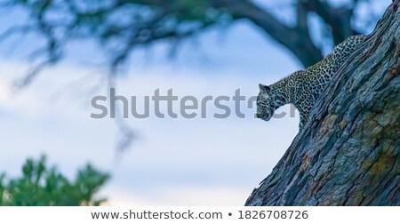 Leopárd mozog fű park Dél-Afrika természet Stock fotó © simoneeman