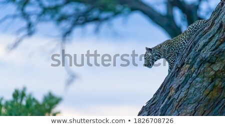 Luipaard bewegende gras park South Africa natuur Stockfoto © simoneeman