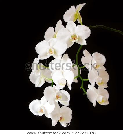 Bianco orchidea isolato nero bella fiore Foto d'archivio © Valeriy