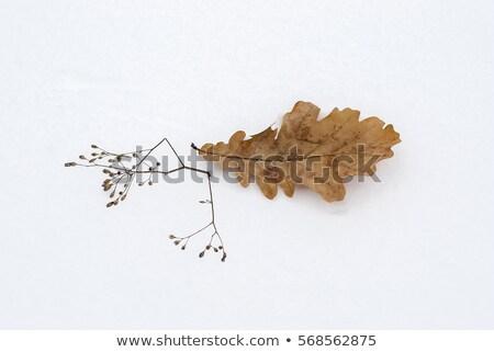 Tölgy levél hó ősz barna fehér Stock fotó © Kotenko