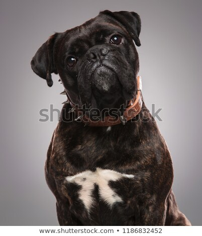 head of cute black bulldog wearing a spiked brown collar Stock photo © feedough