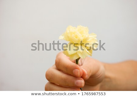 hand of a man picking up a beautiful yellow rose stock photo © kzenon