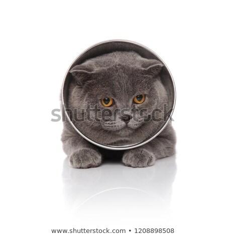 adorable scotish fold wearing a pet cone lying Stock photo © feedough