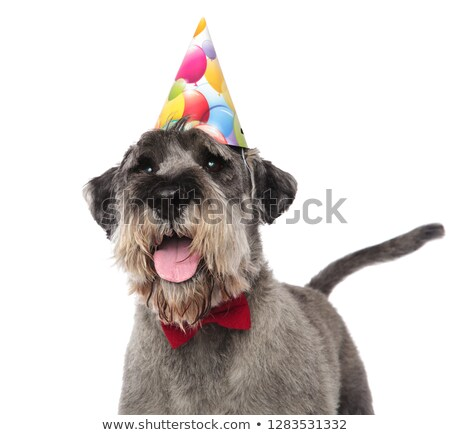 close up of gentleman schnauzer wearing birthday cap Stock photo © feedough