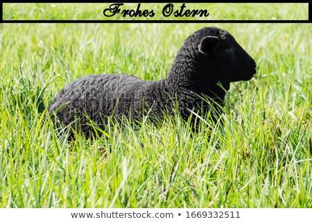 Schwarz Lamm glückliches Gesicht Illustration Natur Hintergrund Stock foto © colematt