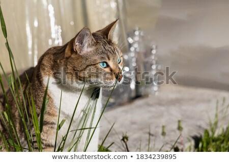青 · かなり · ポイント · 猫 · 座って - ストックフォト © CatchyImages