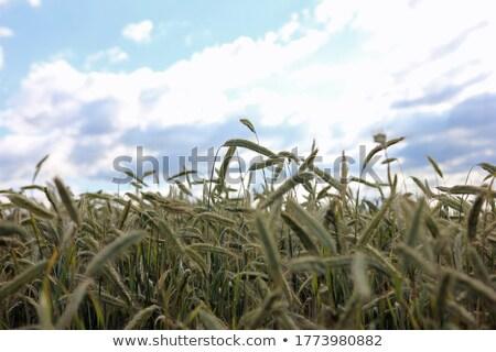 小麦 トウモロコシ畑 画像 クローズアップ 空 雲 ストックフォト © lichtmeister