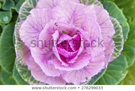 Head of ornamental cabbage with purple and green leaves Stock photo © sarahdoow