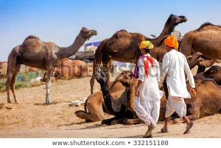 Camels at the Pushkar Fair Rajasthan, India. Stock photo © cookelma