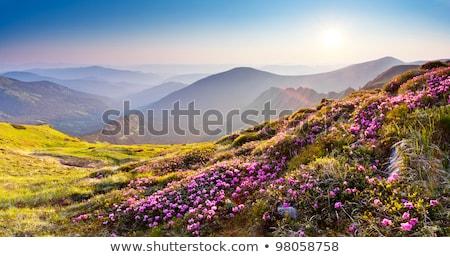 Stok fotoğraf: Rhododendron Flowers In Summer Mountain
