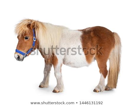 shetland pony stock photo © cynoclub