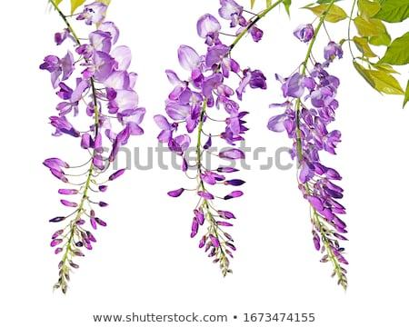 bella · fiori · fresche · viola · isolato · bianco - foto d'archivio © smithore