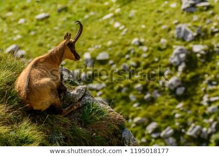 Güderi portre dağ bakıyor fotoğrafçı göz Stok fotoğraf © Elenarts
