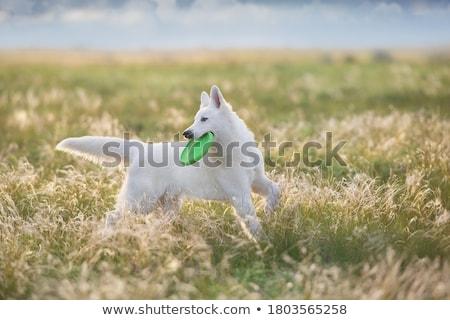 羊飼い · 白 · 犬 · 動物 - ストックフォト © cynoclub