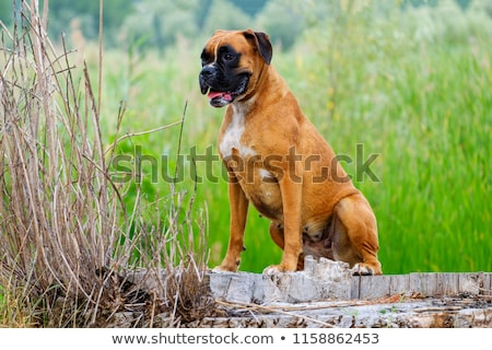 German Boxer Stock photo © Fesus