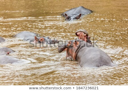 гиппопотам бегемот борьбе реке Серенгети Танзания Сток-фото © photocreo