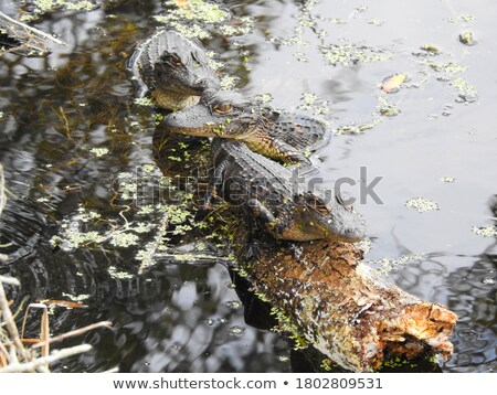 Alligator 3 Stock photo © chrisbradshaw