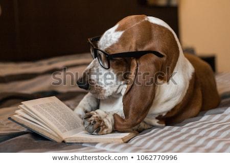Bracco cane grande triste occhi Foto d'archivio © markhayes