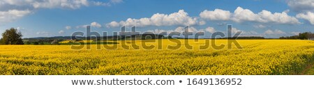 Stock photo: Rapeseed field in the beautiful springtime.